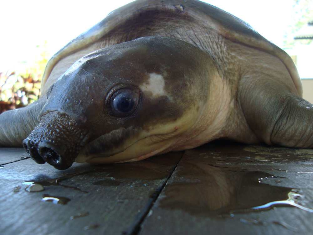 The Iconic Pignosed Turtle