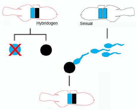 hybridogen.jpg